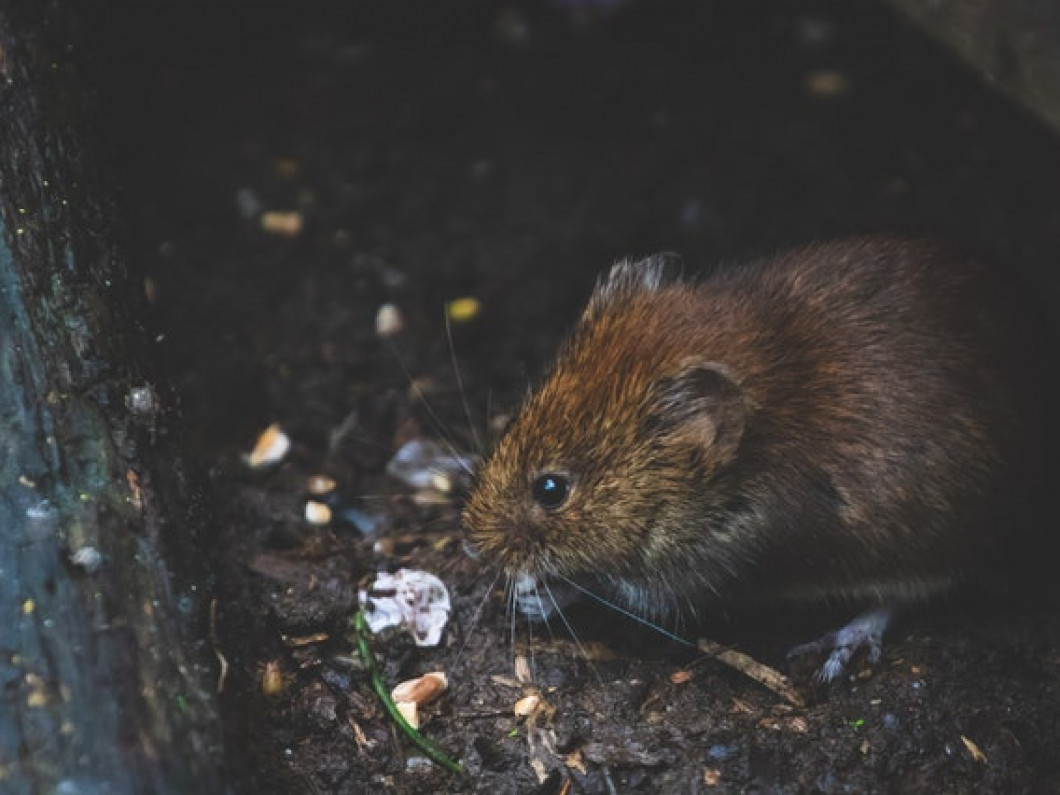 Choose us for thorough and effective rodent control